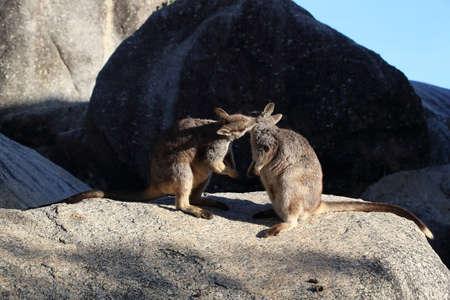 Mareeba rock wallabies at Granite Gorge,queensland australia Foto de archivo