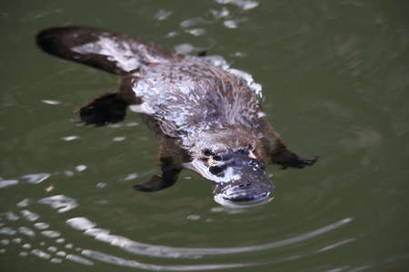 a platypus floating in  a creek on the Eungella National Park , Queensland, Australia