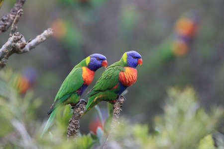 Rainbow Lorikeet, Queensland, Australia Stockfoto