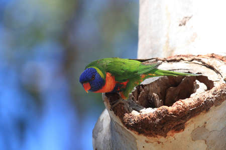 Rainbow Lorikeet, Queensland, Australia 版權商用圖片