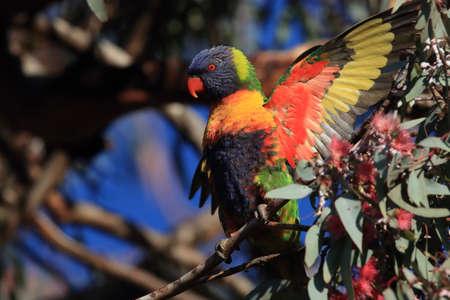 Rainbow Lorikeet, Queensland, Australia Stock fotó