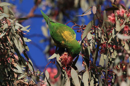 scaly-breasted lorikeet looking for forage queensland australia Stockfoto