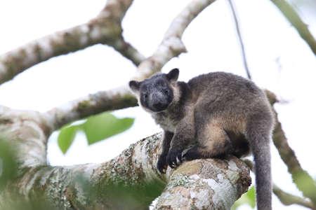 A Lumholtz's tree-kangaroo (Dendrolagus lumholtzi)  cub  in a tree Queensland, Australia Stok Fotoğraf