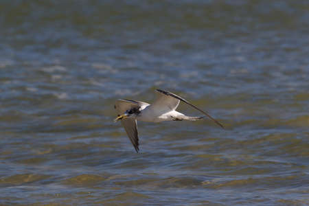 greater crested tern (Thalasseus bergii velox, Sterna bergii) Noosa Heads, queensland, australia Stockfoto