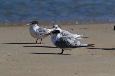 greater crested tern (Thalasseus bergii velox, Sterna bergii) Noosa Heads, queensland, australia Banque d'images