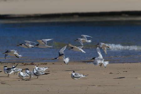 greater crested tern (Thalasseus bergii velox, Sterna bergii) Noosa Heads, queensland, australia 写真素材