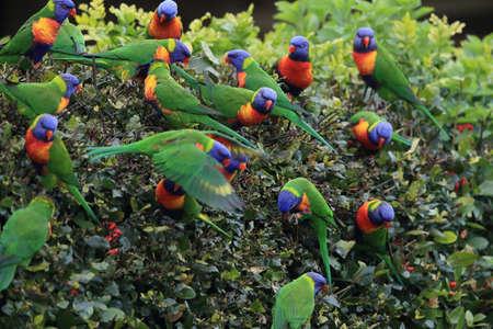 Rainbow Lorikeet, Queensland, Australia Stockfoto