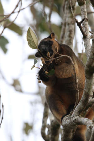 A Lumholtz's tree-kangaroo (Dendrolagus lumholtzi) rests high in a tree in a dry forest  Queensland, Foto de archivo - 129980556