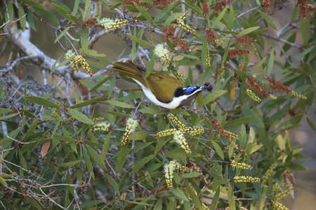 Blue-Faced Honeyeater looking for forage queensland,australia Foto de archivo - 129980554