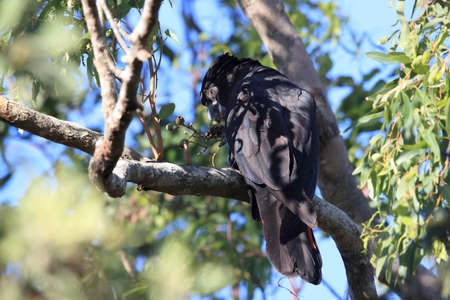 red-tailed black cockatoo (Calyptorhynchus banksii) Queensland ,Australia Foto de archivo - 129980599