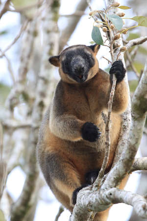 A Lumholtz's tree-kangaroo (Dendrolagus lumholtzi) rests high in a tree in a dry forest  Queensland, Foto de archivo - 129980607