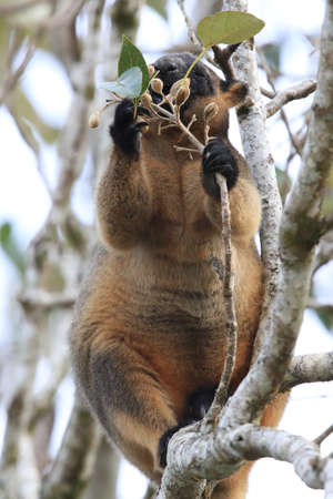 A Lumholtz's tree-kangaroo (Dendrolagus lumholtzi) rests high in a tree in a dry forest  Queensland, Foto de archivo - 129980659