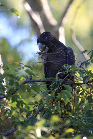 red-tailed black cockatoo (Calyptorhynchus banksii) Queensland ,Australia Foto de archivo - 129980662
