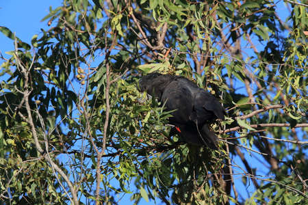 red-tailed black cockatoo (Calyptorhynchus banksii) Queensland ,Australia Foto de archivo - 129980752