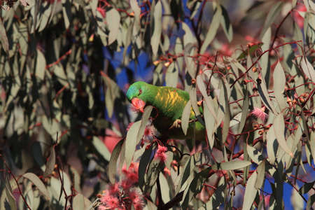 scaly-breasted lorikeet looking for forage queensland australia Foto de archivo - 129980765