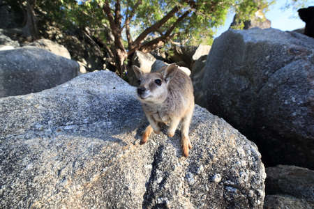 Mareeba rock wallabies at Granite Gorge,queensland australia Foto de archivo - 129980768