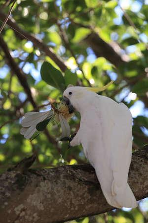 sulphur-crested cockatoo (Cacatua galerita),queensland australia Foto de archivo - 129980827