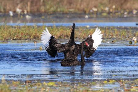 black swan (Cygnus atratus) Queensland, Australia Foto de archivo - 129980912