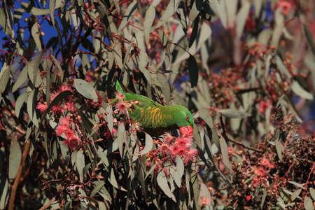 scaly-breasted lorikeet looking for forage queensland australia Foto de archivo - 129980913