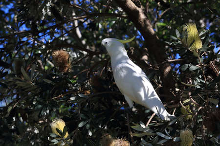 sulphur-crested cockatoo (Cacatua galerita),queensland australia Foto de archivo - 129980916