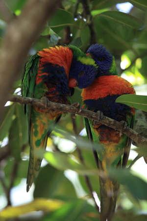 Rainbow Lorikeet, Queensland, Australia Foto de archivo - 129980919