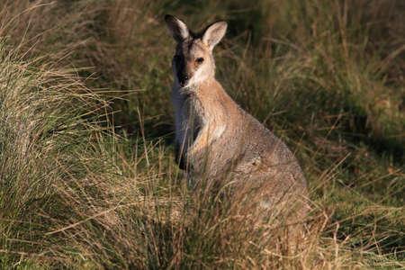 red-necked wallaby or Bennett's wallaby (Macropus rufogriseus) Bunya Mountains, Queensland, Australia Foto de archivo - 129980922