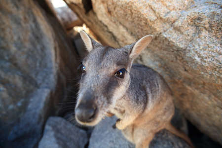 allied rock-wallaby , Petrogale assimilis Magnetic Island in Queensland, Foto de archivo - 129980897