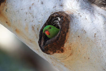 scaly-breasted lorikeet looks out of the nest cave queensland, australia Foto de archivo - 129980901