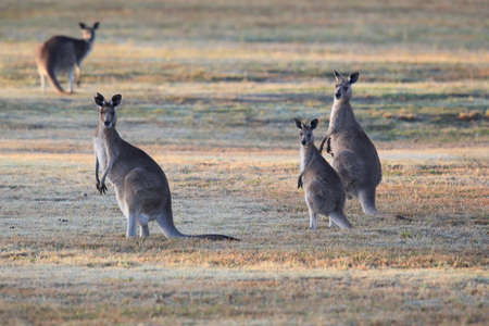 eastern grey kangaroo (Macropus giganteus) in the morning at the food intake ,Queensland ,Australia Foto de archivo - 129980807