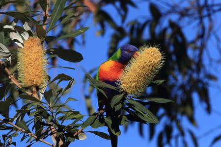 Rainbow Lorikeet, Queensland, Australia Foto de archivo - 129980809