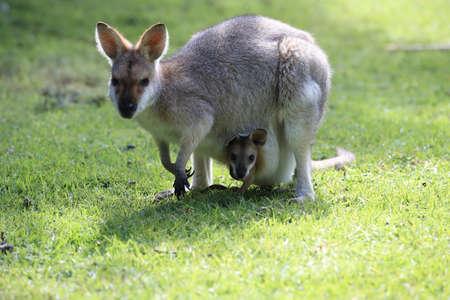 red-necked wallaby or Bennett's wallaby (Macropus rufogriseus) Bunya Mountains, Queensland, Australia Foto de archivo - 129980707