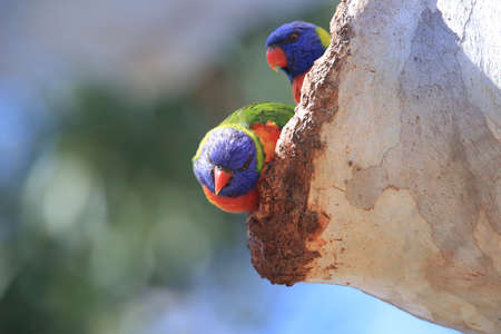 Rainbow Lorikeet, Queensland, Australia Foto de archivo - 129980711