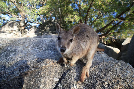 Mareeba rock wallabies at Granite Gorge,queensland australia Foto de archivo - 129980712