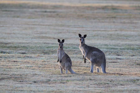 eastern grey kangaroo (Macropus giganteus) in the morning at the food intake ,Queensland ,Australia Foto de archivo - 129980630