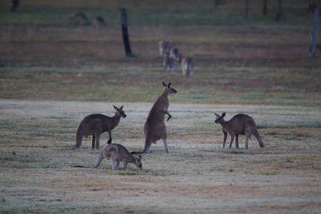 eastern grey kangaroo (Macropus giganteus) in the morning at the food intake ,Queensland ,Australia Foto de archivo - 129980635