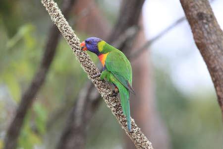 Rainbow Lorikeet, Queensland, Australia Foto de archivo - 129980567