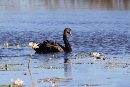 black swan (Cygnus atratus) Queensland, Australia Foto de archivo - 129980565