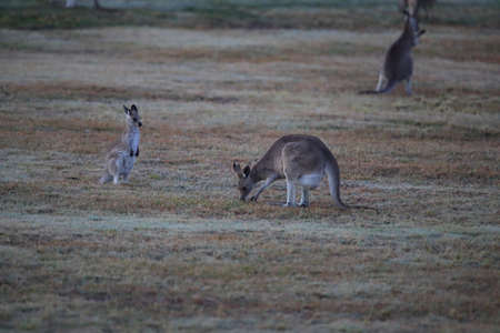 eastern grey kangaroo (Macropus giganteus) in the morning at the food intake ,Queensland ,Australia Foto de archivo - 129980571