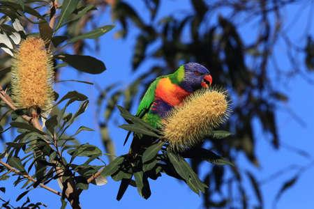 Rainbow Lorikeet, Queensland, Australia Foto de archivo - 129980572