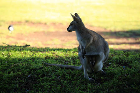 red-necked wallaby or Bennett's wallaby (Macropus rufogriseus) Bunya Mountains, Queensland, Australia