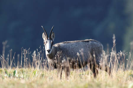 Chamois (Rupicapra rupicapra)  Vosges Mountains, France Stockfoto - 130129918