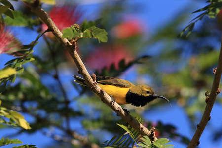 olive-backed sunbird (Cinnyris jugularis) Daintree Rainforest, Queensland, Australia