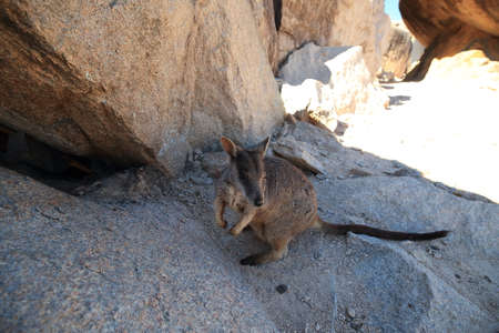 allied rock-wallaby , Petrogale assimilis Magnetic Island in Queensland,  版權商用圖片
