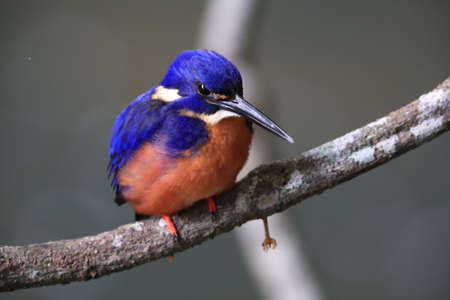 Australian Azure Kingfisher Queensland, Australia