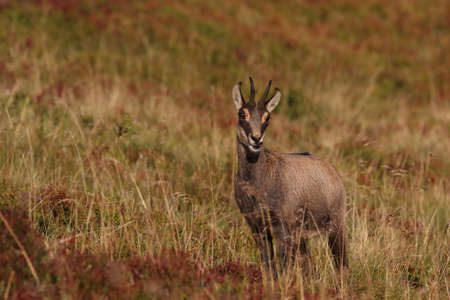 Chamois (Rupicapra rupicapra)  Vosges Mountains, France Stockfoto - 133515961