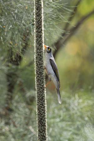 noisy miner (Manorina melanocephala),queensland australia