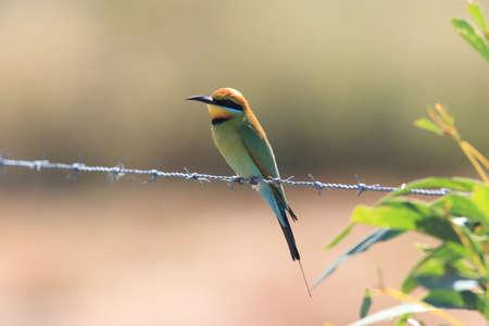 Rainbow Bee-Eaters (Merops ornatus) Queensland ,Australia