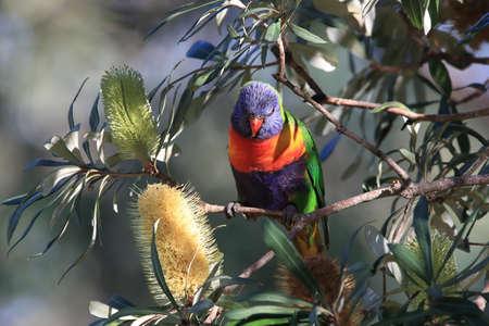 Rainbow Lorikeet, Queensland, Australia Stockfoto - 133516010