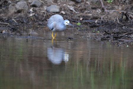 White-Faced Heron (Egretta novaehollandiae) Queensland, Australia Stockfoto - 133516027