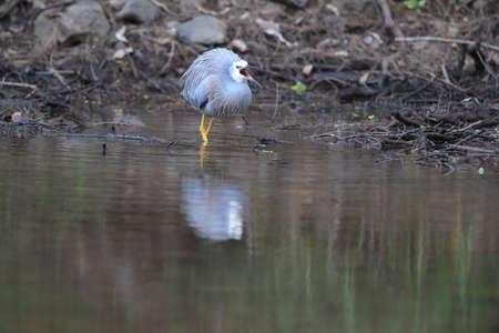 White-Faced Heron (Egretta novaehollandiae) Queensland, Australia